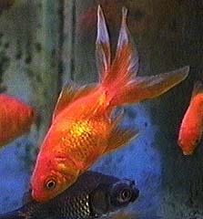 Goldfish, Types of goldfish